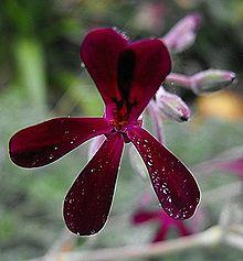 Pelargoniumsidoides